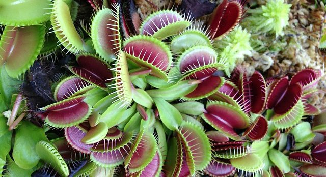 With so many traps how to feed a Venus flytrap