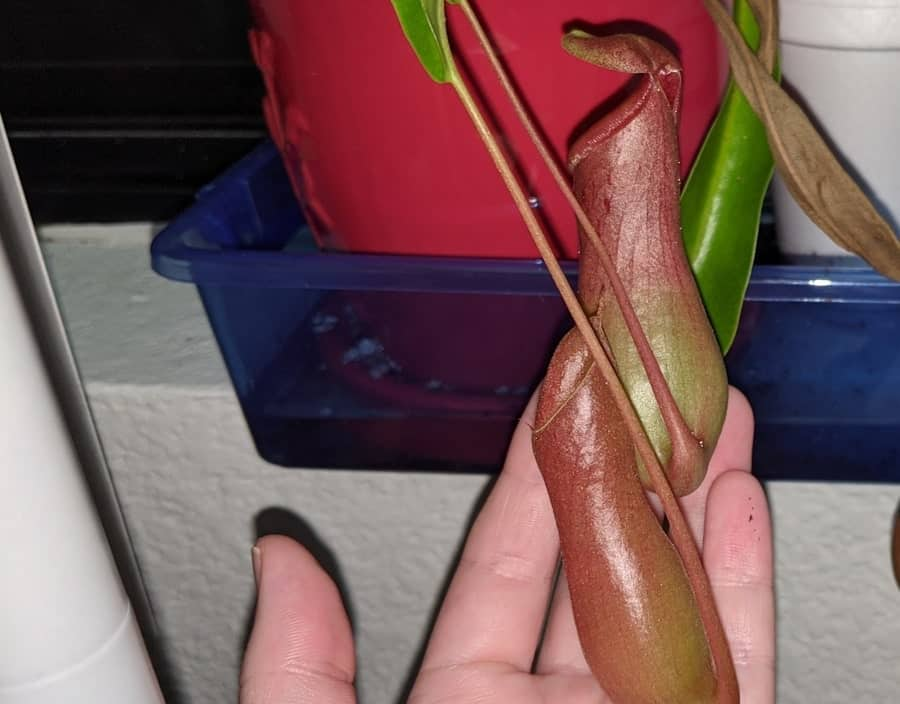 Pitcher plant open and closed